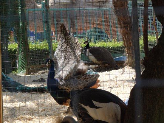Zoo in Sochi: павлины