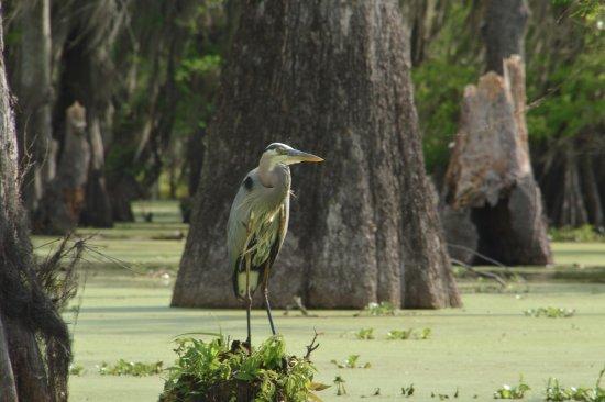 Breaux Bridge, Louisiane : Great Blue Heron