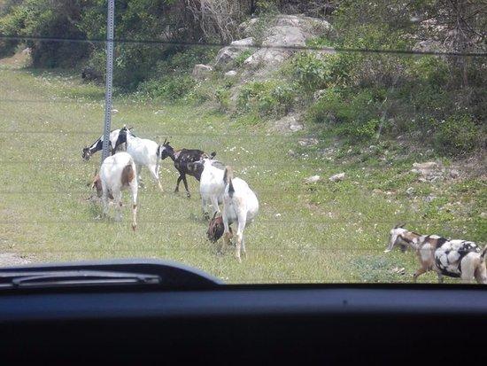 Jaital: Goats