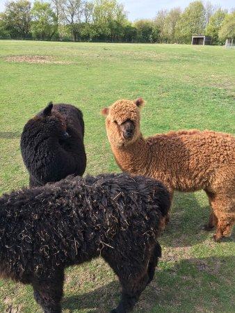 Butlers Farm Alpacas: Some more Alpacas