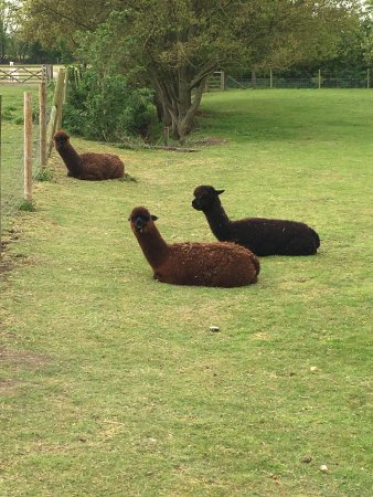 East Anglia, UK: Brown Alpacas