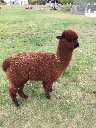 East Anglia, UK: A year old brown Alpaca