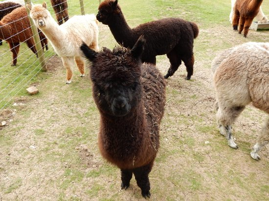 East Anglia, UK: Young Alpacas