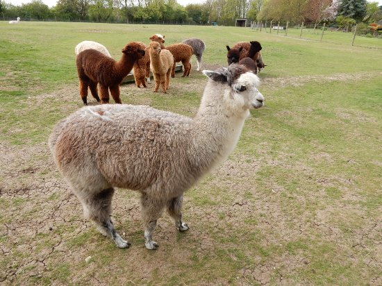 East Anglia, UK: Grey Alpaca