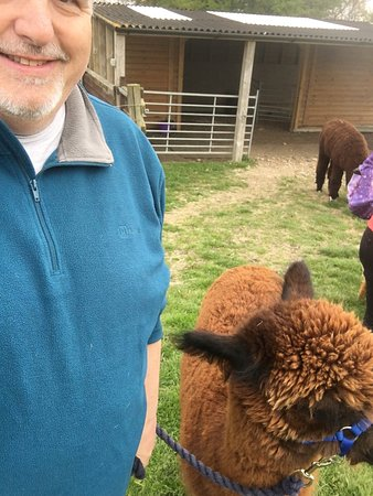 East Anglia, UK: Me & Fab, the Alpaca I walked
