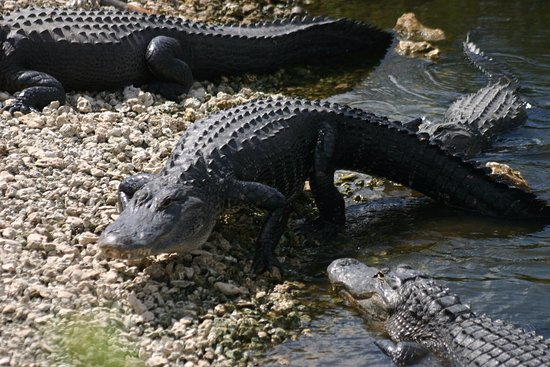 Davie, FL: This is one of the gators at the Oasis
