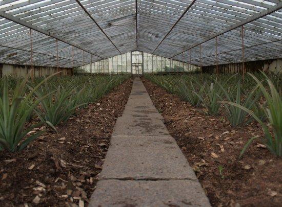 serre de la plantation arruda foto de arruda pineapple plantation ponta delgada tripadvisor. Black Bedroom Furniture Sets. Home Design Ideas