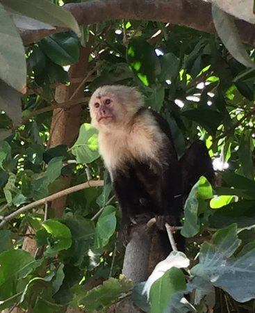 Province of Guanacaste, Costa Rica: White Faced Monkey close to Boat