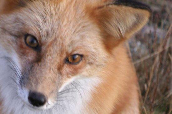 Friday Harbor, WA: Red Fox San Juan Island WA
