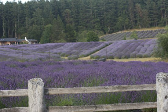 Friday Harbor, WA: Lavender Farm , the air smells so so good there!!!
