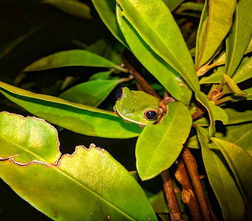 Maroantsetra, Madagascar: finding frogs on our night walks
