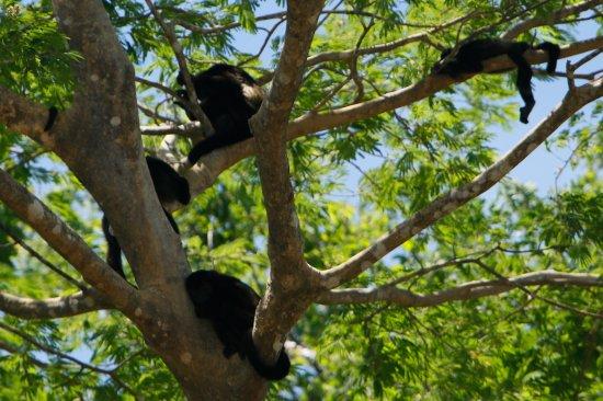 Provincia di Guanacaste, Costa Rica: More Howler Monkeys