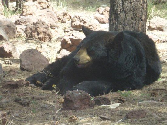 Williams, AZ: Bear on the drive section