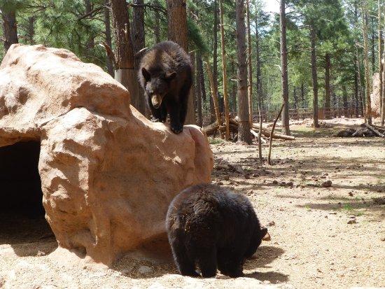 Williams, AZ: Bears in the Walk-thru