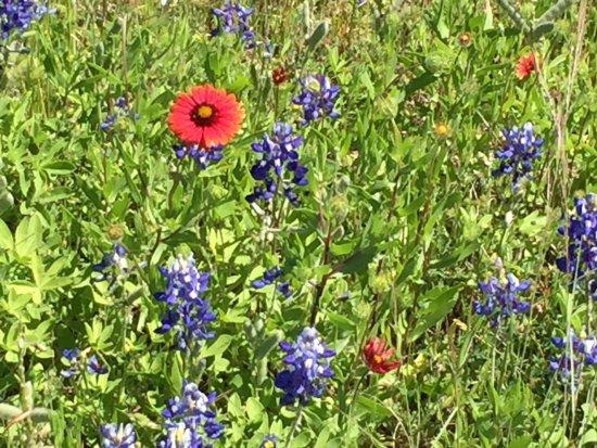 Llano, TX: Bluebonnet Trail