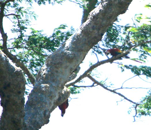 Provincia di Guanacaste, Costa Rica: Scarlet Macaws - crappy photo...they were far away, our boat was vibrating & gone in a flash.