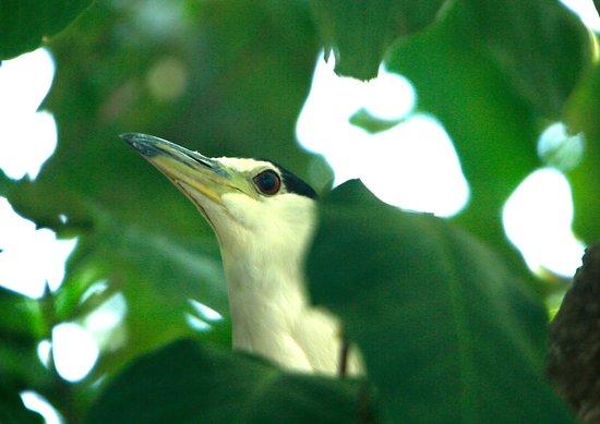 Provincia di Guanacaste, Costa Rica: Night Heron tucked in the bushes.