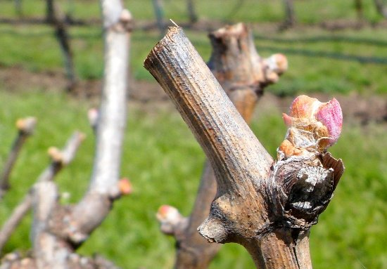 Γουάλα Γουάλα, Ουάσιγκτον: Budbreak in the vineyard, always an exciting time in the spring.