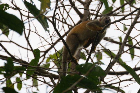 Costa Rica Jade Tours: Squirrel Monkey