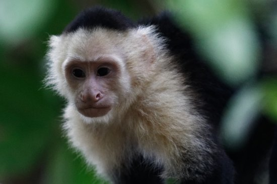 Costa Rica Jade Tours: Capuchin Monkey