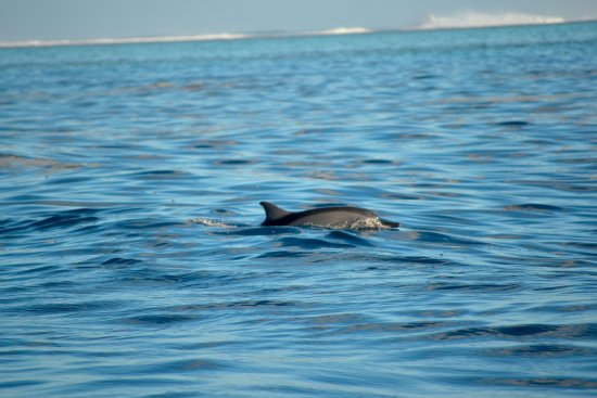 Haapiti, French Polynesia: Dolphin watching / Observation des dauphins