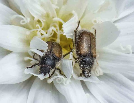 Twentynine Palms, Californien: two beetles