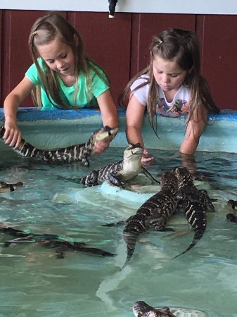 Insta-Gator Ranch : The alligator catching pool