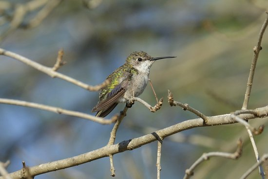 Mission, TX: Ruby throated humming bird