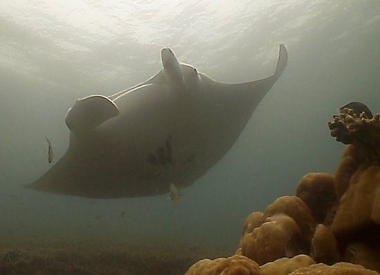 Colonia, Estados Federados de Micronesia: Mantas, if you wait long enough