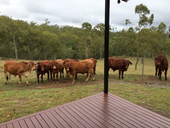 Atherton, Australien: Cattle up close at the Dingo's Lair
