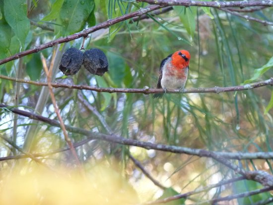 Atherton, ออสเตรเลีย: Special resident the Scarlett Honey Eater