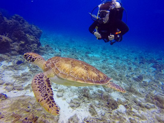 Scuba Club Cozumel: My wife watching a graceful sea turtle swim by on one of the many beautiful reefs they took us t