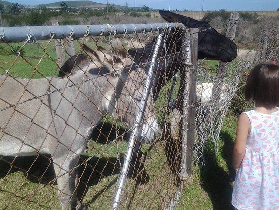 Uitenhage, Sudáfrica: The donkeys come when called!