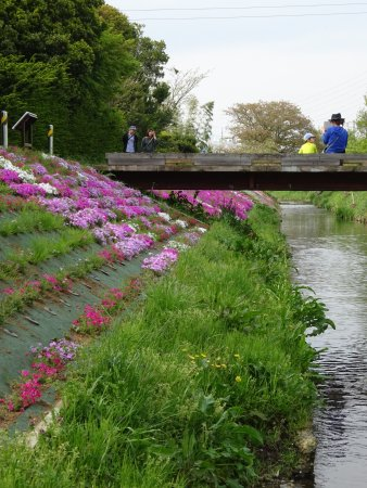Moss Phlox of Shibuta Riverbank Photo