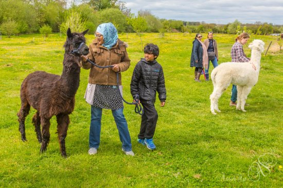 Kidlington, UK: Alpaca Leading