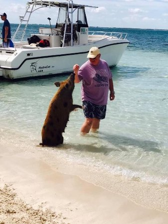 Green Turtle Cay: Turtles right up to the boat.   Pigs so tame that they sat just like our dogs do at home.