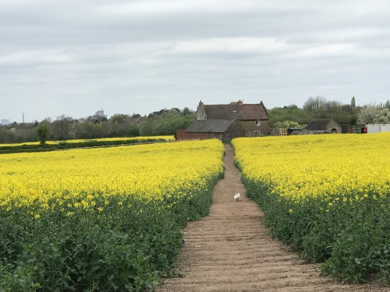 Loughborough, UK: Rape seed out in mid April!!!!!