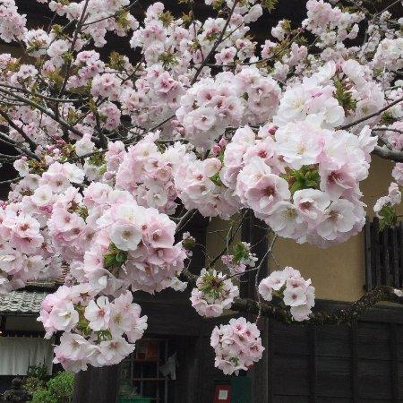 Okutama-machi, Japón: 入口には八重桜が咲いています