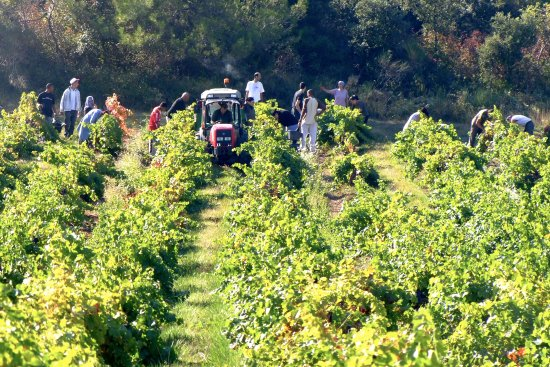 Domaine de Mourchon : Les vendanges - Harvest time