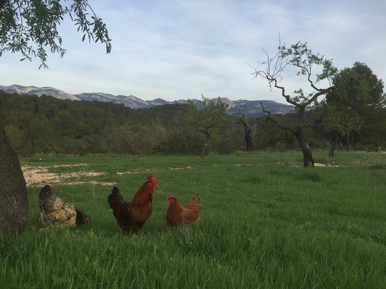 Lledo, Spain: Our chickens lay delicious eggs