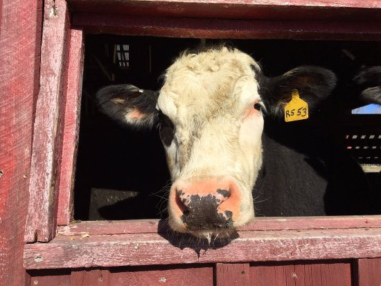 Hancock, MA: Cow friend