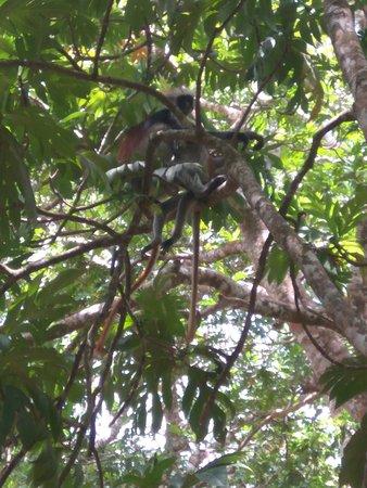 Amani Nature Reserve, Tanzania: opice