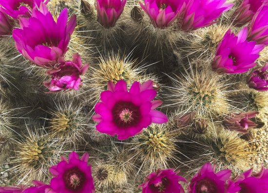 Desert Flowers Hedge Hog Toms Thumb Scottsdale Arizona Picture