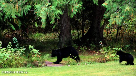 Mount Currie, Canada: Moma and her cub, in the Hitching Post garden