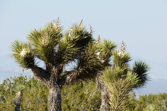 Lancaster, CA: Joshua tree in bloom