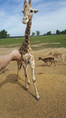 Folsom, Louisiane : Giraffe ready for snacks!
