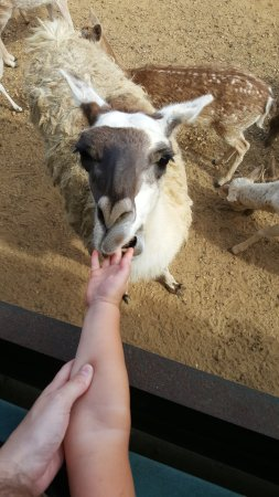 Folsom, Louisiane : Llama llama likes to nibble!!