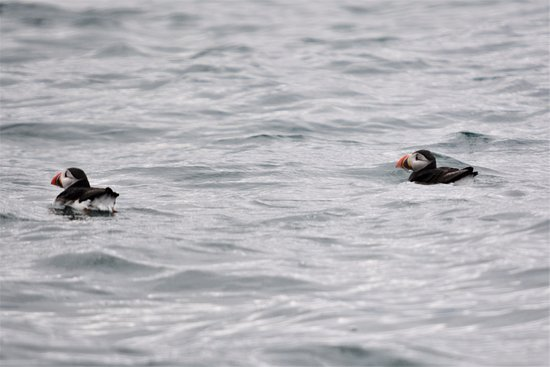 Beaumaris, UK: Puffins :-)