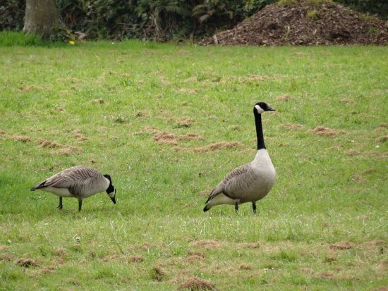 Τίβερτον, UK: Canada geese in a nearby field.