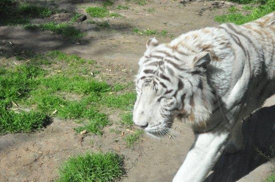 Romaneche-Thorins, Γαλλία: Le tigre blanc